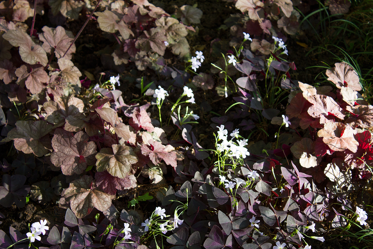 (above) In the shade portion of my backyard garden, there's a patch of Coral Bells (Heuchera cultivars). Originally Oxalis triangularis (False Shamrock) had been planted there, but after a second try and two growing seasons, the Oxalis refused to thrive. So I planted the Coral Bells. But now the Oxalis has decided to join the party, and the Coral Bells aren't as abundant. I think last year's long El Niño season caused their root systems to rot.
