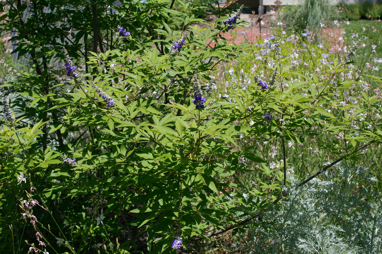 My Texas Lilac Vitex is surrounded by White Gaura, and Powis castle artemisia.