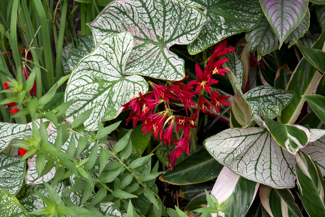 caladiums are trying to crowd out the lilies
