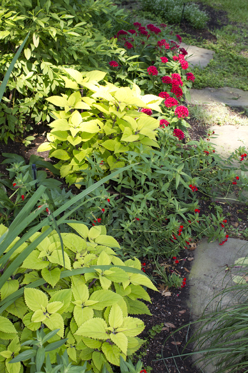 (above from bottom to top) Pineapple Coleus, Bat Face Cuphea, more coleus, and Red Pentas
