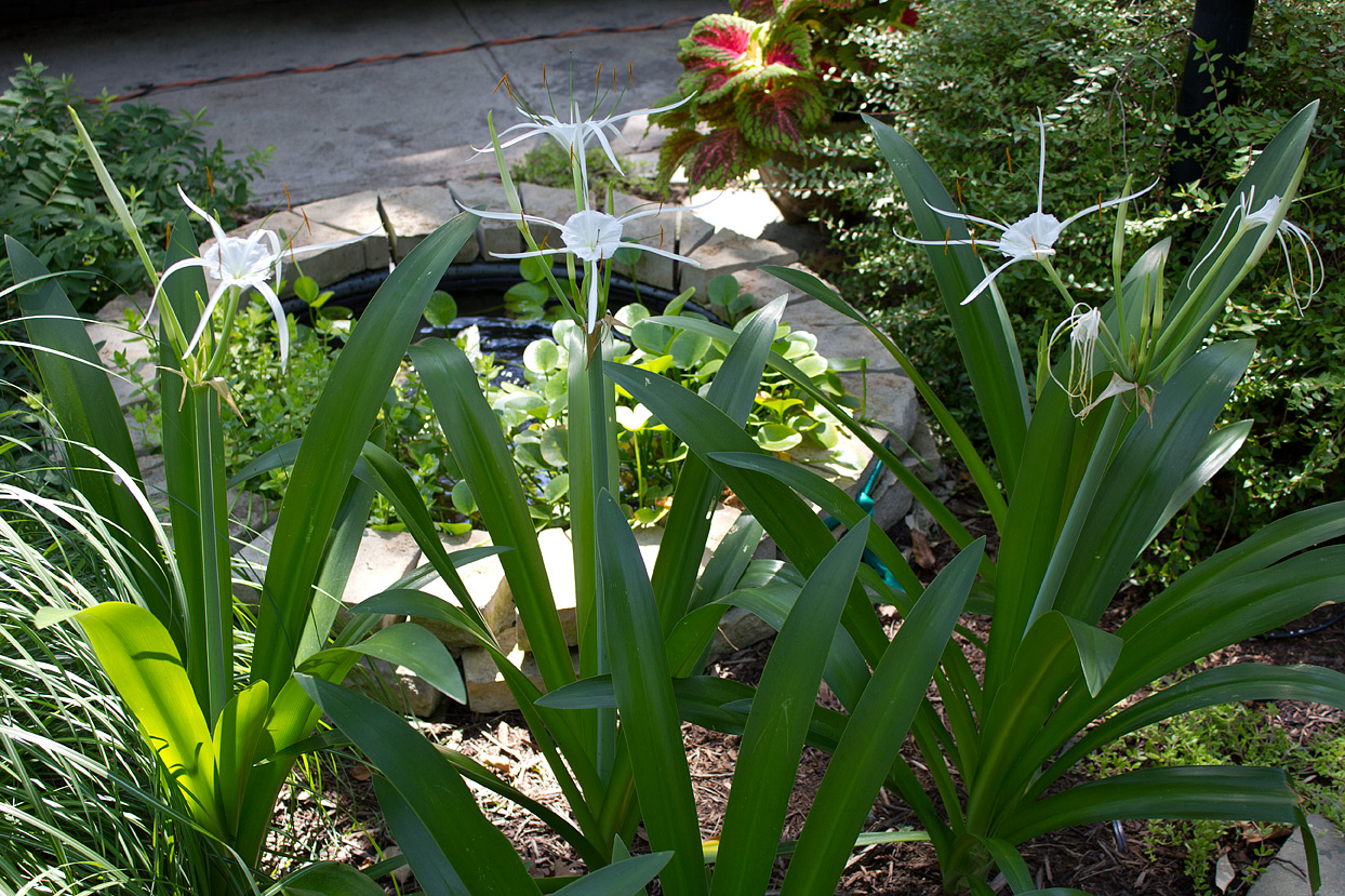 Out of the six newly planted lilies, four have started to flower.