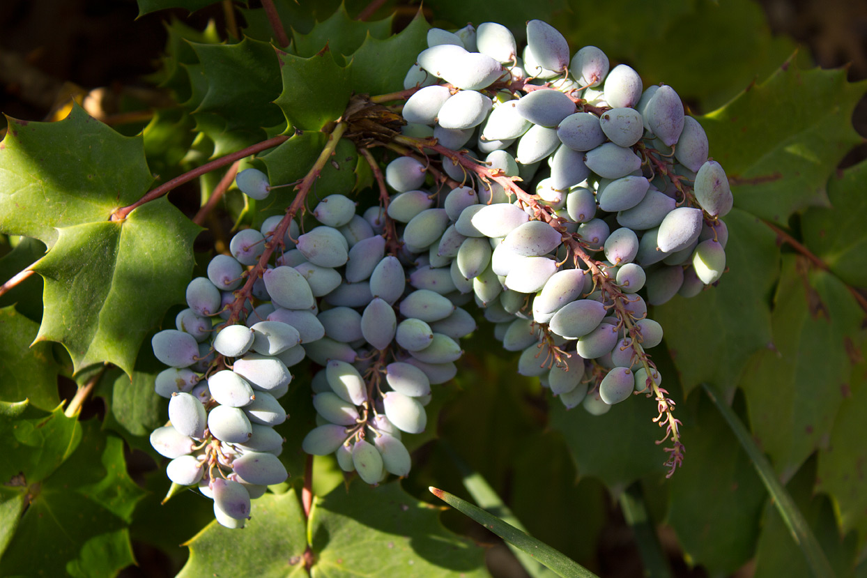 The wildlife has already started to feed on the grape-like fruit clusters.