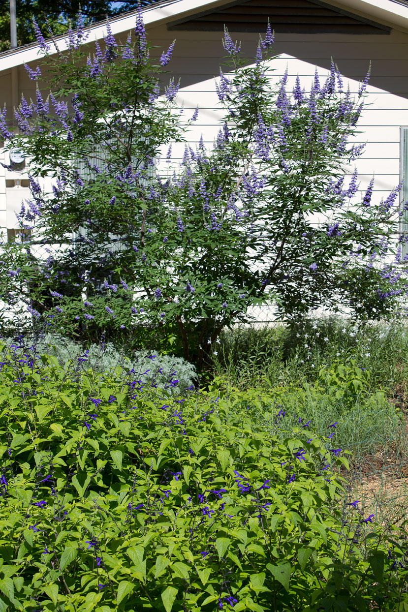 In front is Black and Blue Sage. In the background, the tree is Texas Lilac Vitex. And under the tree on the left is Powis castle artemisia, and on the right is White Gaura.