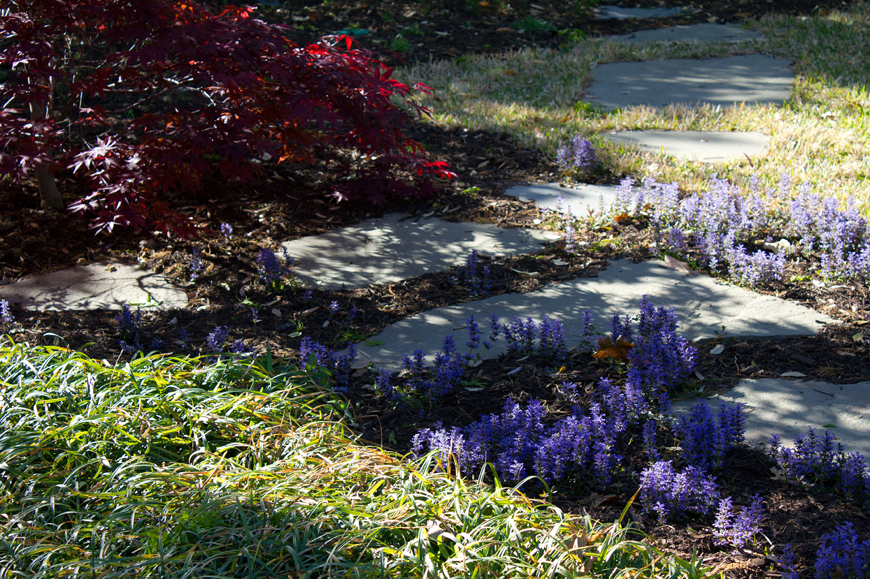 The Japanese Maple's leaves have an interesting bluish undertone that complements the Chocolate Chip Ajuga's blooms. To see these colors better, click on the photo for a much larger version.