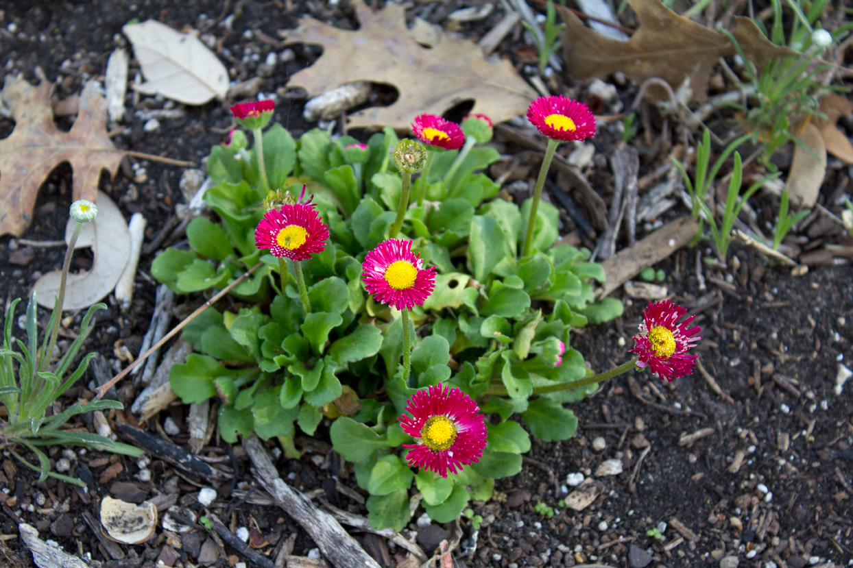 (above) English daisy (Bellis perennis). It looks a bit chewed up at the moment, but it may recover from our rough winter.