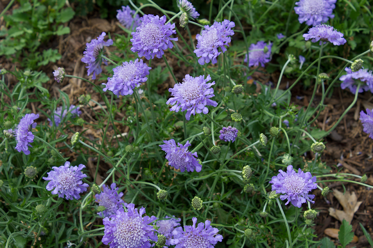 Scabiosa 'Butterfly Blue'. The popular common name for this plant is the Pincushion flower. Even though all my scabiosas are blooming profusely now, I was amazed that they even had some blooms this past winter. In fact, they never did stop blooming.