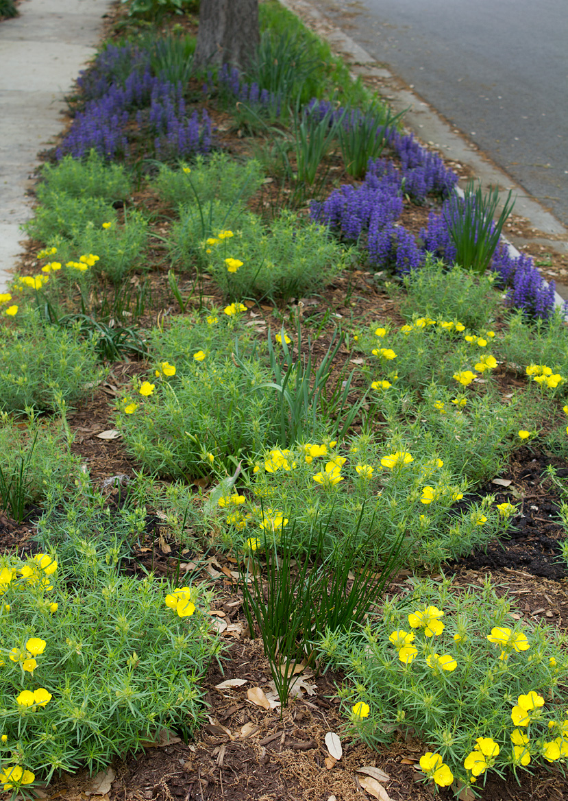 (above) This parkway had to be replanted with sun tolerant perennials last year, because my neighbor's huge oak tree that had shaded it had been removed. The sundrops are in the foreground, and the purple flowers further down belong to the ground cover Ajuga reptans 'Bronze Beauty'. The bunches of vertical strappy foliage interspersed among the sun drops and ajuga belong to different varieties of rain lilies that bloom in August and September.