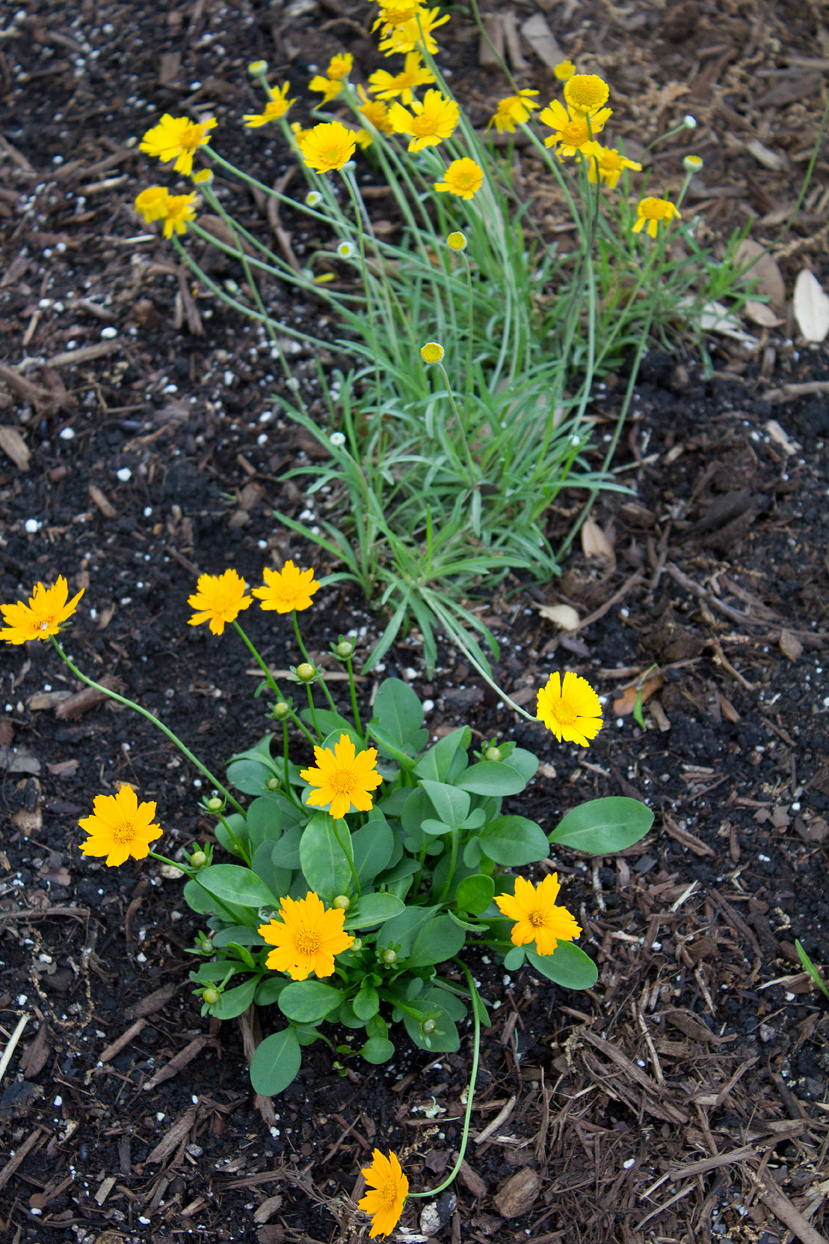 (above) The top plant is a Four-nerve daisy. The bottom clump is one of the newly planted Dwarf Coreopsis. The Coreopsis is mainly a spring bloomer, while the daisy will bloom from now until winter. They say that the Coreopsis will spread like a ground cover, which would be so nice. I think these two complement each other in foliage texture and color.