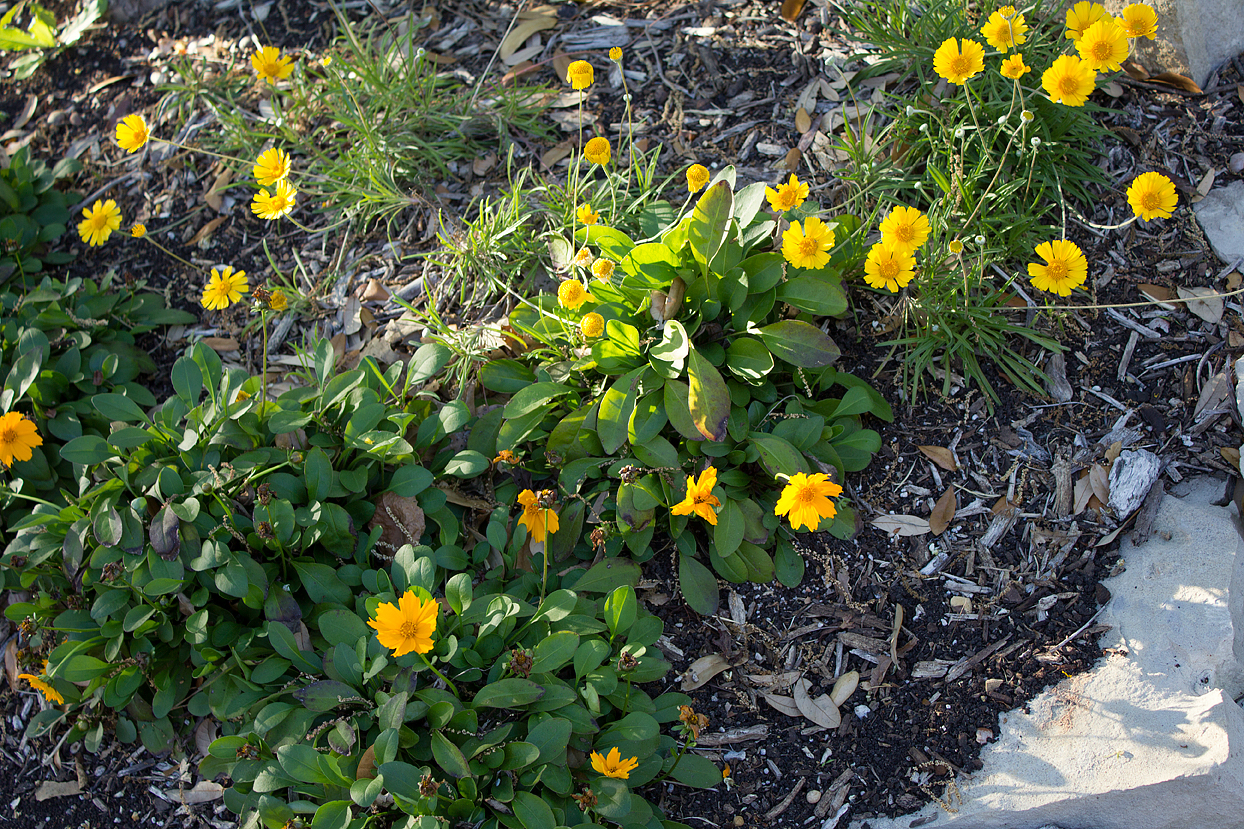 (above) My experiment of mixing Four-nerve daisies (Tetraneuris scaposa) with Dwarf Coreopsis (Coreopsis auricular 'Nana') at the base of my Texas Whitebud tree seems to be working out well. I need to add more of the Coreopsis when they become available later this spring.