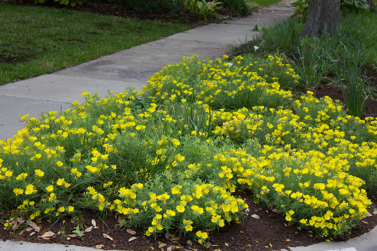 (above) Calylophus hartwegii 'Texas Gold'. I thought these sundrops looked good last year, but when you compare, you can see how much they have grown.