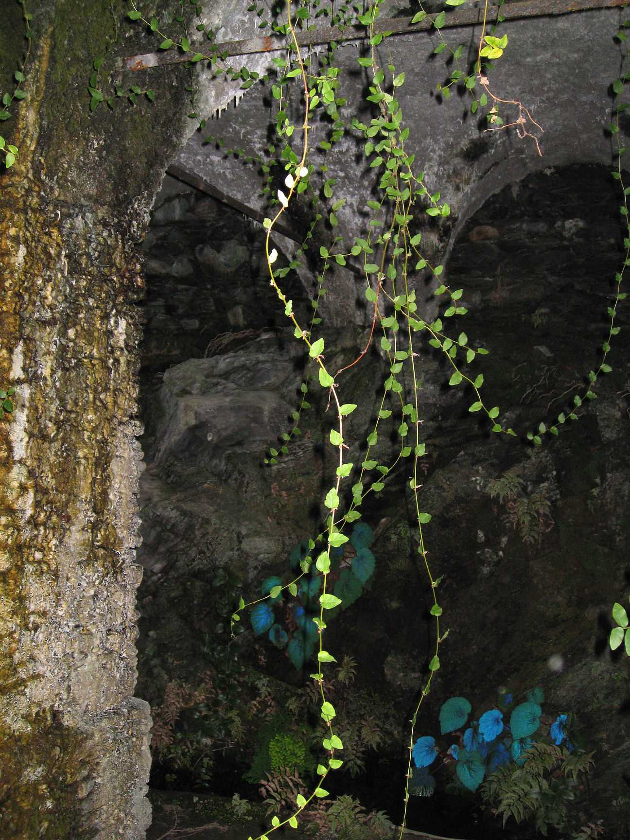 (above) The gardens of Villa San Remigio on Lake Maggiore. I found these fig ivy streamers in a limonaia with a grotto containing a stream in one of the villa's many numerous gardens, the Garden of the Hours. It's amazing what kind of exotic plants can thrive in such deep shade. The pictured iridescent blue leaf belongs to some kind of begonia.