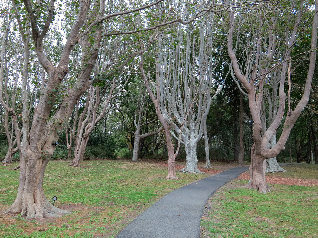 (above) Taking a different trail back to the old house, I came upon this group of trees. I don't know what they are, but I did see much older, knobbier, and gigantic versions of this tree on the grounds of the old Newport mansions.